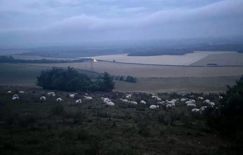 Sheep napping pre-dawn